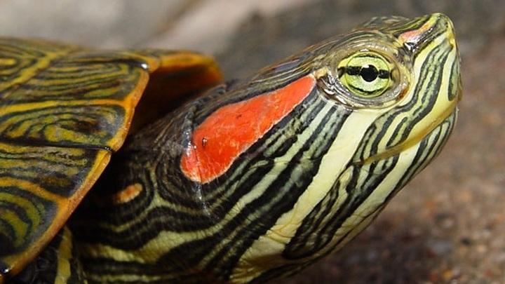 Красноухая черепаха (Trachemys scripta).