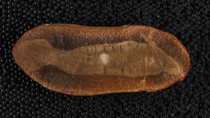 Голотип Tullimonstrum gregarium, сохранивший морфологические особенности, в том числе мышечные сегменты