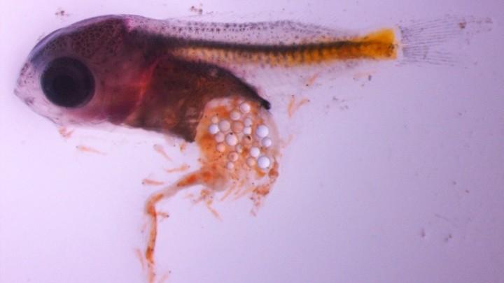 Частицы полистирола в желудке рыбы хорошо видны на этом снимке.