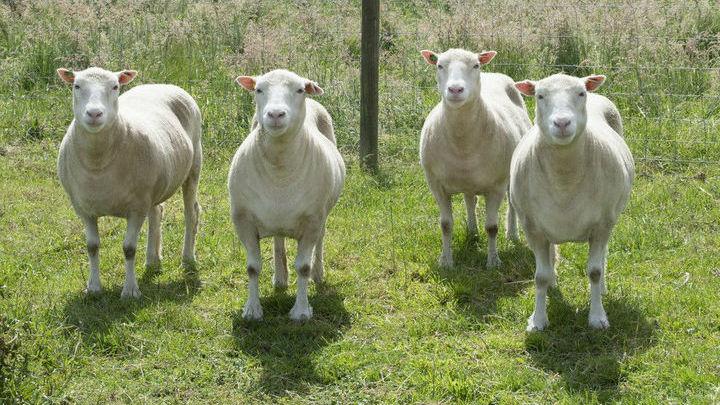 Недавно им исполнилось девять лет, они уже на три года пережили овцу Долли.