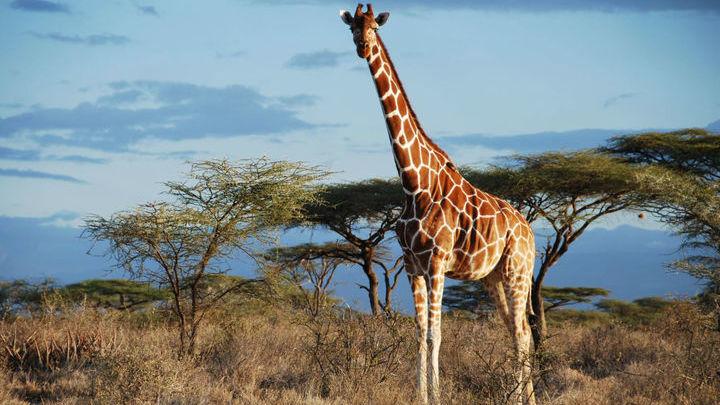 Сетчатый жираф в Национальном заповеднике Самбуру (Кения).