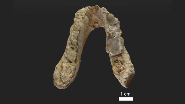 Челюсть возрастом 7,2 миллиона лет, найденная в Греции.