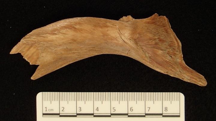 Кость трески, которой более тысячи лет. Благодаря холодному климату и другим благоприятным условиям, ДНК в останках рыбы хорошо сохранилась.