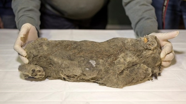 Длина тела львёнка составляет 45 сантиметров; весят останки около четырёх килограммов.