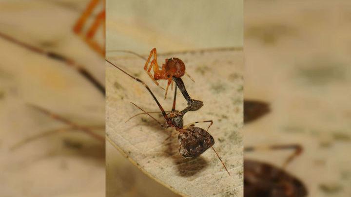 Когда пауки обнаруживают жертву, они дёргают нити паутины, имитируя вибрации борющегося в западне насекомого.