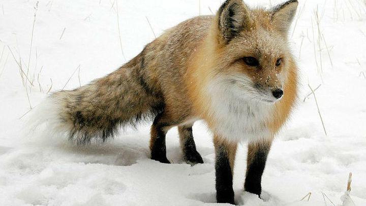 Известно, что сокращение численности рыжей лисы привело к увеличению случаев болезни Лайма.