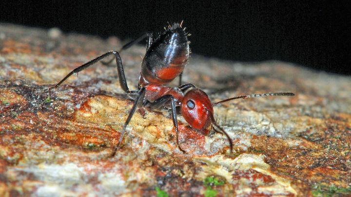 """Новый вид будет служить образцовой моделью для будущих исследований """"взрывающихся"""" муравьёв."""