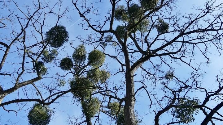 """""""Гнёзда"""" на ветвях дерева √ это и есть кусты омелы. Она паразитирует на многих декоративных и лесных древесных породах."""