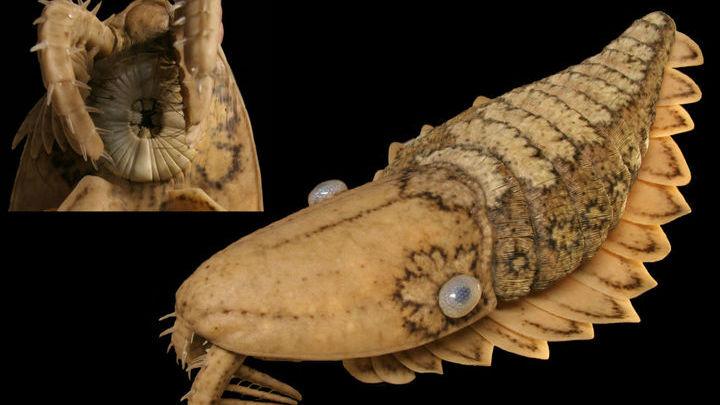 Это реконструкция внешности ещё одного кембрийского представителя группы из ствола её эволюционного древа. Вверху слева крупный план частей рта и лобных придатков, внизу справа общий вид тела.