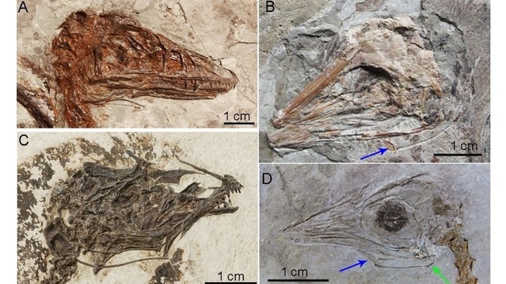 Останки ящеров, найденные в Китае. Стрелками указаны подъязычные кости.