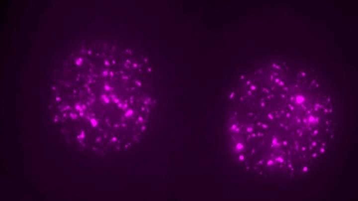 Двухклеточный мышиный эмбрион. РНК LINE1 окрашена в пурпурный цвет.