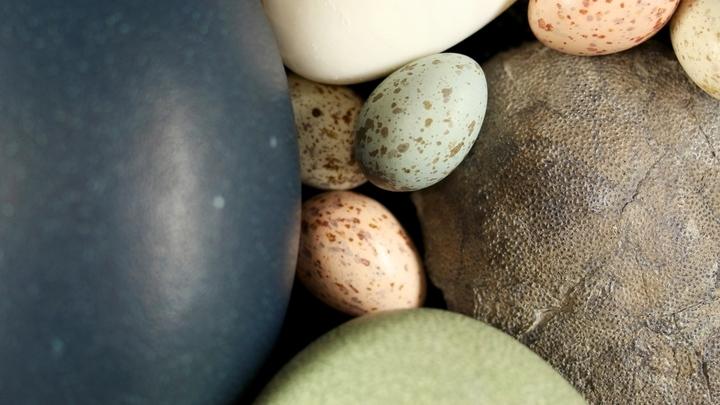 Скорлупа яиц современных птиц и их предков √ динозавров √ содержит два пигмента, биливердин и протопорфирин.
