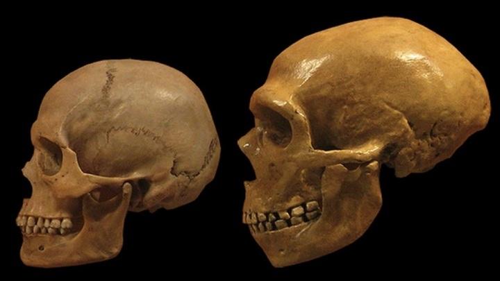 Сравнение черепа сапиенса (слева) и неандертальца (справа). Два родственных вида скрещивались неоднократно и в течение долгого времени, утверждают авторы новой работы.