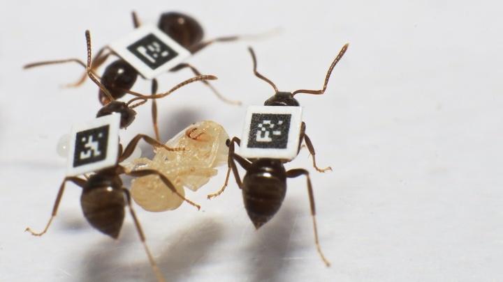 Учёные разработали специальную систему штрих-кодов, позволяющую следить за взаимодействиями между муравьями при помощи инфракрасных камер.