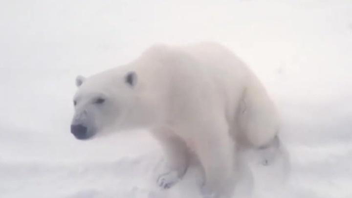 Экологи рассказали, как справиться с медведями на Новой Земле