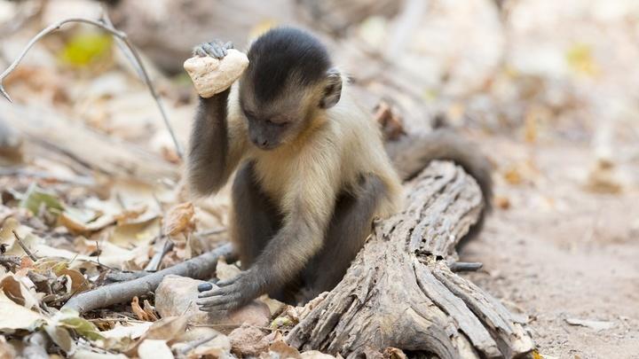 """Чернополосые капуцины используют округлые булыжники, чтобы колоть орехи кешью, которые они раскладывают на корнях деревьев или каменных """"наковальнях""""."""