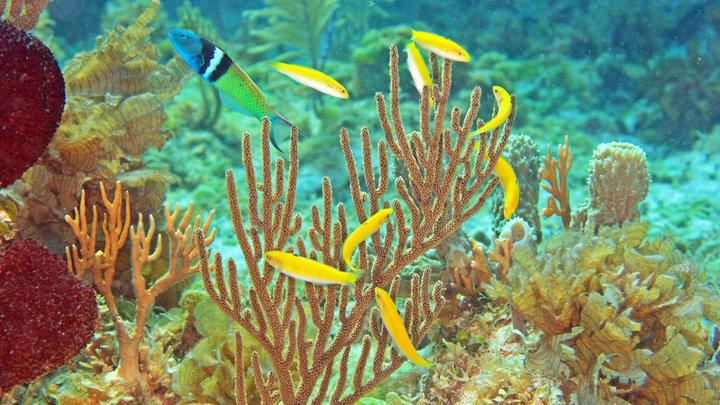 Самец синеголовой талассомы (сверху слева) защищает гарем ярко-жёлтых самок.