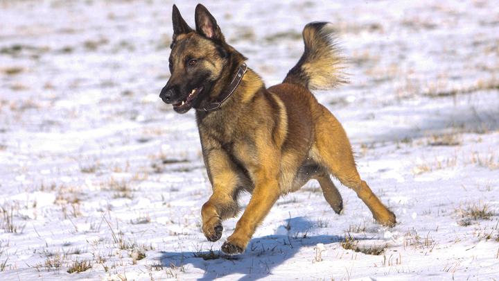 В Австрии показали первую собаку, способную вынюхивать COVID-19