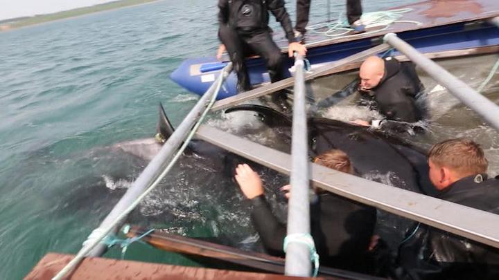 """Косатки из """"китовой тюрьмы"""" добрались до мест обитания"""