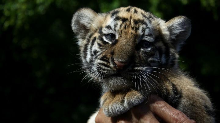 Метод отслеживания серийных преступников поможет защитить тигров