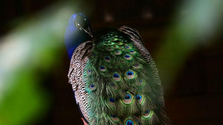 """Внешность или голос? Самцы птиц могут обладать только одним """"талантом"""""""