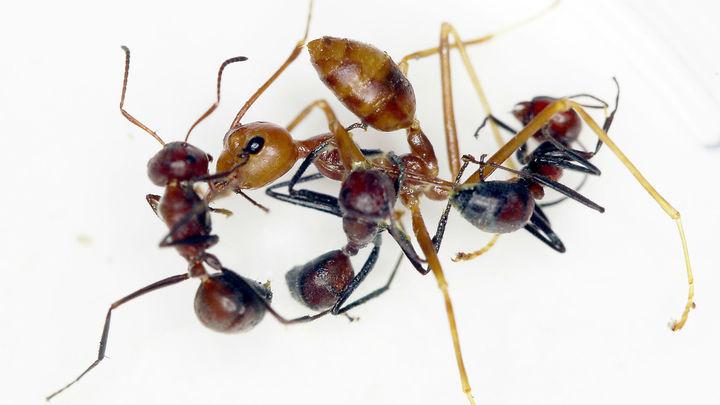Стой, кто идёт: обнаружен новый вид взрывающихся при опасности муравьёв