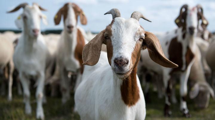 Нет негативу: козы распознают человеческие эмоции и избегают хмурых людей