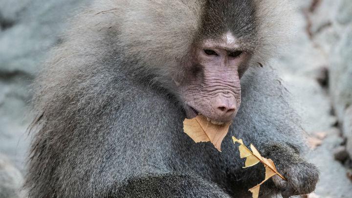 Продолжительность жизни обезьян с пересаженным сердцем свиньи увеличилась втрое