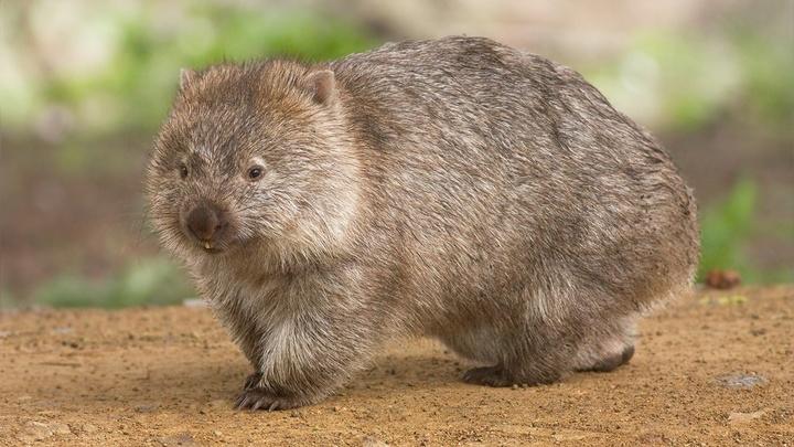 Вомбаты √ австралийские эндемики, внешне напоминающие миниатюрных медведей. Длина их тела колеблется от 70 до 130 сантиметров, а вес может составлять от 20 до 45 килограммов.