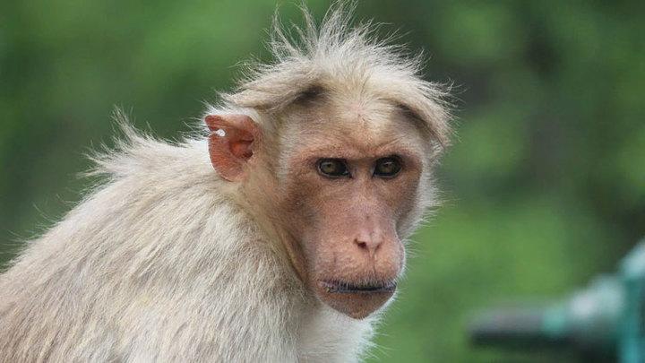 Россиян предупредили о риске заражения оспой обезьян