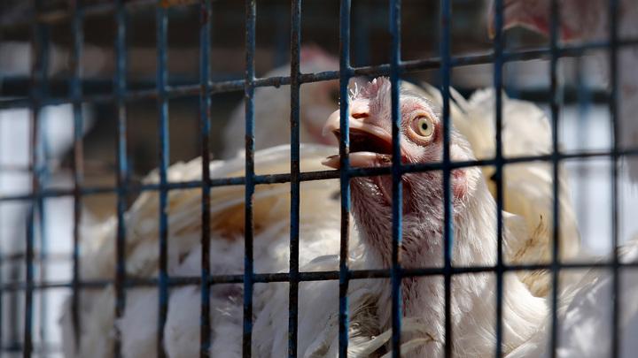 На ростовской птицефабрике выявлен птичий грипп