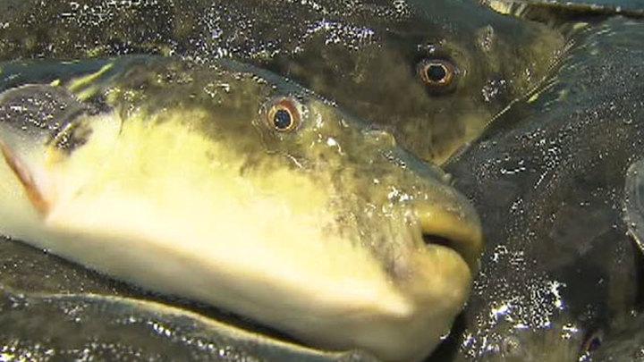 У берегов Турции – нашествие смертельно ядовитых рыб