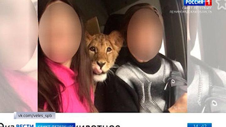 Росприроднадзор забрал у жителя Петербурга львицу, которую использовали для фотосессий