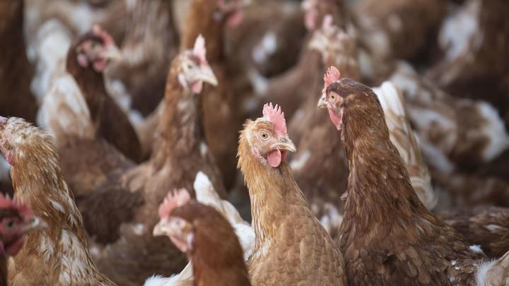 Россельхознадзор запретил ввоз птицеводческой продукции из трех регионов Чехии