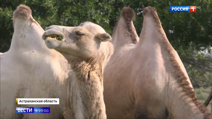 Хозяйничают и все ломают: верблюды держат в страхе жителей астраханских сел