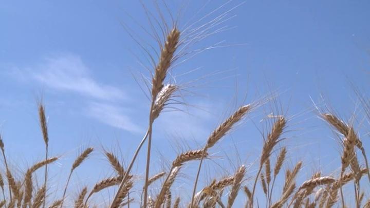 В Новосибирской области вывели редкий сорт растения для промышленности