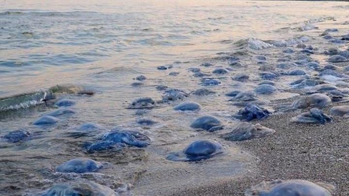 Нашествие медуз в Азовском море вызвано теплой погодой