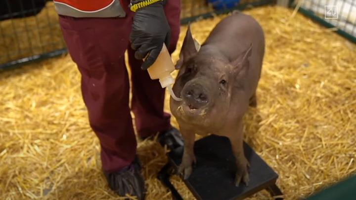 """Илон Маск показал """"счастливую"""" свинью с чипированным мозгом"""