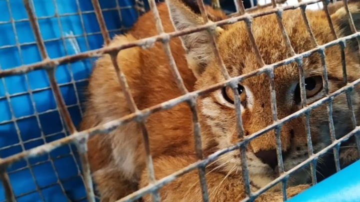 Котенка рыси спасли в Приморье