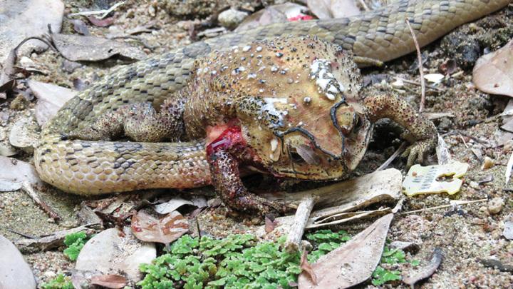 Змея заживо поедает внутренности жабы.