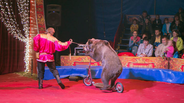 СК в Кузбассе проверит инцидент с нападением медведя в цирке на дрессировщицу