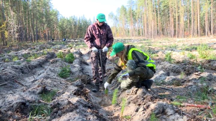 """В рамках акции """"Сохраним лес"""" в Ульяновской области высадили 50 тысяч сосен"""