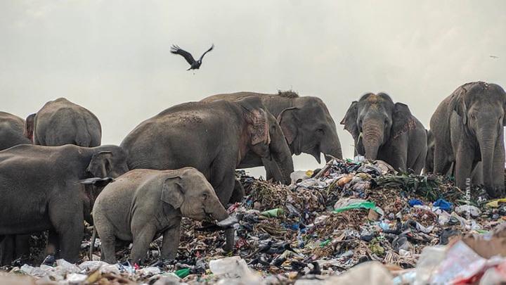 Слоны пришли за едой на мусорный полигон