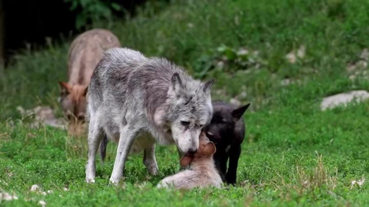 Тамбовский волк рискует остаться только в знаменитом выражении