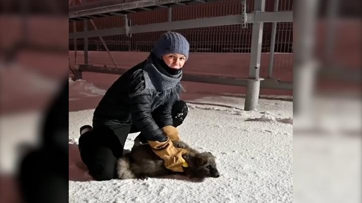 Ямальским ученым удалось надеть спутниковый ошейник на редкого голубого песца
