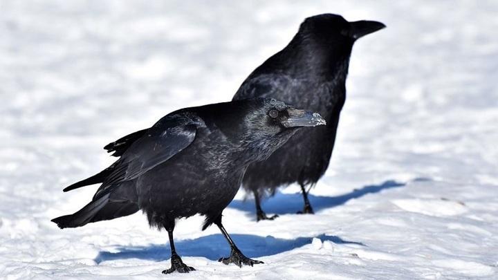 """В """"Шушенском бору"""" вороны занимаются моббингом"""