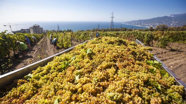 Иберийский красностоп: испанские сорта винограда оказались родом из России