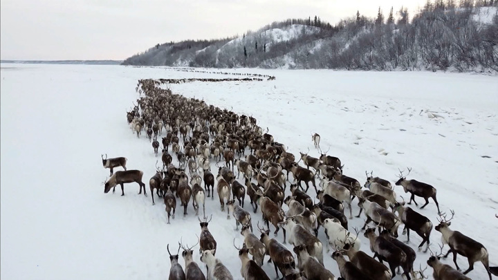 ПОРА предлагает внести защиту северного оленя в нацпроект