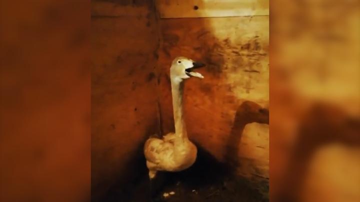Приморские охотоведы подобрали истощенного лебедя-кликуна
