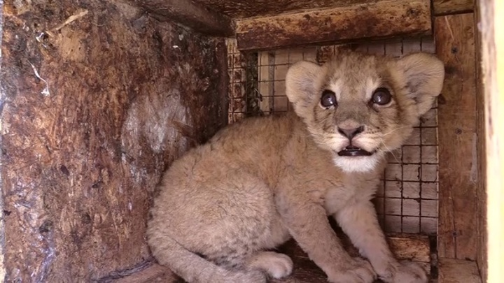 Спасенного от контрабандистов львенка Грома отправили в цирк